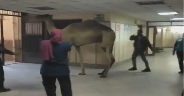 """""""تعبان وجاي يكشف"""".. جمل يقتحم قسم الاستقبال بمستشفى أوسيم - فيديو"""