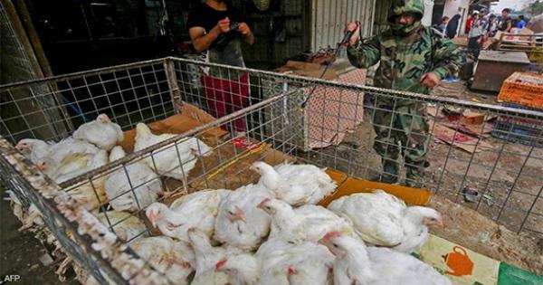 أقفاص الحقول تحولت لمقابر.. فيروس إنفلونزا الطيور  يضرب العراق