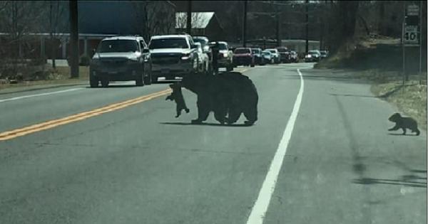 شاهد السيارات تتوقف بأميركا لأجل دبة وصغارها الأربعة