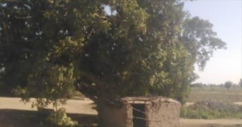 """سر شجرة الجميزة """"المبروكة"""" بالبحيرة.. الأهالى يتباركون بها ويقفون ويصلوا أمامها !! .. ومزاعم : تفرز سائل يعالج الأمراض"""